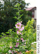 Blooming pink mallow bush in the garden in summer in the park, gardening, floriculture and medicinal herbs. Стоковое фото, фотограф Светлана Евграфова / Фотобанк Лори