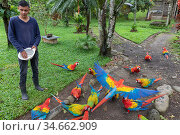 Scarlet macaw (Ara macao) and hybrid macaws with Great Green Macaw (Ara ambigua) at a breeding centre being fed. These macaws are already released and... Стоковое фото, фотограф David Pattyn / Nature Picture Library / Фотобанк Лори