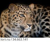 Amur leopard (Panthera pardus orientalis) portrait, captive occurs in Russia and China. Стоковое фото, фотограф Ernie Janes / Nature Picture Library / Фотобанк Лори