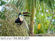 White-throated toucan (Ramphastos tucanus cuvieri) feeding on palm fruit, Rrainforest near Manaus, Amazon Basin, Brazil. Стоковое фото, фотограф Konrad Wothe / Nature Picture Library / Фотобанк Лори