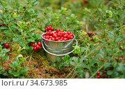 Спелые ягоды брусники в игрушечном ведре. Стоковое фото, фотограф Dmitry29 / Фотобанк Лори