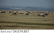 Sheep grazing on green meadows of Normandy, France. Стоковое видео, видеограф Яков Филимонов / Фотобанк Лори