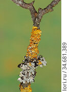 Gelbflechte, Xanthoria parietina, Maritime sunburst lichen, Focus... Стоковое фото, фотограф Zoonar.com/Gerd Herrmann / easy Fotostock / Фотобанк Лори