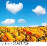 The magnificent blossoming fields of garden buttercups. Fluffy clouds... Стоковое фото, фотограф Zoonar.com/kavram / easy Fotostock / Фотобанк Лори