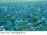 Rotkohl Feld im Kohlanbaugebiet Schleswig Holstein Red cabbage field... Стоковое фото, фотограф Zoonar.com/Volker Schlichting / easy Fotostock / Фотобанк Лори