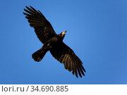 Saatkraehe, (Corvus frugilegus), flieghend, im Flug, Deutschland, ... Стоковое фото, фотограф Zoonar.com/Carsten Braun / age Fotostock / Фотобанк Лори