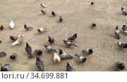 Time-lapse footage of chaotic walking group of pigeons, takes off and pecking ground looking for food. Feeding street pigeons in urban settings, struggle to survive, competition, natural selection. Стоковое видео, видеограф Dmitry Domashenko / Фотобанк Лори