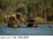 Eurasian Brown Bears / Europaeische Braunbaeren ( Ursus arctos ) ... Стоковое фото, фотограф Ralf Kistowski / age Fotostock / Фотобанк Лори