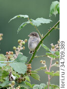 Red-backed Shrike ( Lanius collurio ), fledged young chick, perched... Стоковое фото, фотограф Ralf Kistowski / age Fotostock / Фотобанк Лори