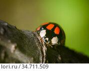 Close up view of a ladybug sitting on a tree branch. Стоковое фото, фотограф Сергей Фролов / Фотобанк Лори