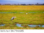 Marabou stork or Leptoptilos crumenifer in Kenya. Стоковое фото, фотограф Сергей Новиков / Фотобанк Лори