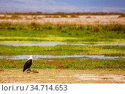African fish eagle or Haliaeetus vocifer in Kenya. Стоковое фото, фотограф Сергей Новиков / Фотобанк Лори