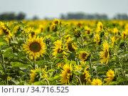 Feld mit Sonnenblumen bei Jerichow, Sachsen-Anhalt, Deutschland | ... Стоковое фото, фотограф Peter Schickert / age Fotostock / Фотобанк Лори