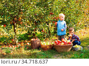 Two cute little kids picking apples in sunny autumn garden, smiling... Стоковое фото, фотограф Zoonar.com/Oksana Shufrych / easy Fotostock / Фотобанк Лори