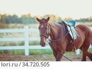 A beautiful brown horse is walking around the farm. Стоковое фото, фотограф Zoonar.com/Oksana Shufrych / easy Fotostock / Фотобанк Лори