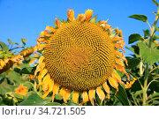 Leicht verbluehte Sonnenblume - Hintergrund Sonnenblumen und blauer... Стоковое фото, фотограф Zoonar.com/z / easy Fotostock / Фотобанк Лори