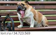 Funny purebred English bulldog with his tongue hanging out resting on a bench in a city park. Стоковое видео, видеограф Алексей Кузнецов / Фотобанк Лори