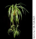 Spider Plant (Chlorophytum comosum) plant with plantlets. Стоковое фото, фотограф Nigel Cattlin / Nature Picture Library / Фотобанк Лори