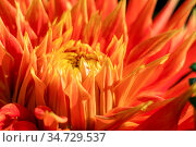 Picture of a bud of a red, orange and yellow Cactus Dahlia flower... Стоковое фото, фотограф Zoonar.com/Pawel Opaska / easy Fotostock / Фотобанк Лори
