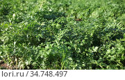 Closeup of fresh young parsley growing on farm field on sunny summer day. Стоковое видео, видеограф Яков Филимонов / Фотобанк Лори