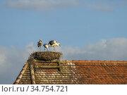 Störche im Nest, Hansestadt Werben an der Elbe, Sachsen-Anhalt, Deutschland... Стоковое фото, фотограф Peter Schickert / age Fotostock / Фотобанк Лори