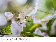 Spring blossoms on a Southern Crabapple,. Стоковое фото, фотограф Joseph De Sciose / age Fotostock / Фотобанк Лори