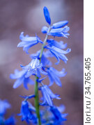 Hyacinthoides hispanica, Spanish blue bells in flower. Стоковое фото, фотограф Joseph De Sciose / age Fotostock / Фотобанк Лори