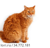 Adult big fluffy red domestic cat sits sideways on a white background... Стоковое фото, фотограф Zoonar.com/Danko Natalya / easy Fotostock / Фотобанк Лори