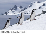 Chinstrap penguins (Pygoscelis antarcticus) coming ashore, walking in line, Half Moon Bay, Antarctica. Стоковое фото, фотограф Jeff Vanuga / Nature Picture Library / Фотобанк Лори
