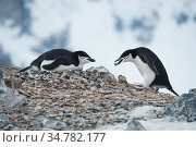 Chinstrap penguins (Pygoscelis antarcticus) on Orne Island building nests of rocks for nesting mate. Antarctica. Стоковое фото, фотограф Jeff Vanuga / Nature Picture Library / Фотобанк Лори