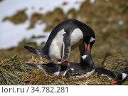 Gentoo penguin (Pygoscelis papua) on nest copulating Prion Island, South Georgia Island, Antarctica. Стоковое фото, фотограф Jeff Vanuga / Nature Picture Library / Фотобанк Лори