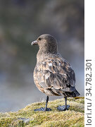 Brown skua (Stercorarius antarcticus) portrait, South Georgia Island, Antarctica. Стоковое фото, фотограф Jeff Vanuga / Nature Picture Library / Фотобанк Лори