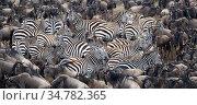 Common zebra (Equus quagga burchelli) herd with Wildebeest (Connochaetes taurinus), Masai Mara Game Reserve. Kenya. Стоковое фото, фотограф Jeff Vanuga / Nature Picture Library / Фотобанк Лори