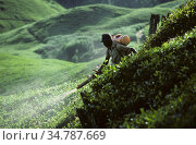Worker with a portable backpack mist blower treating the crop in a steepo tea plantation, Cameron Highlands, Malaysia, February. Стоковое фото, фотограф Nigel Cattlin / Nature Picture Library / Фотобанк Лори