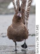 Antarctic skua (Stercorarius antarcticus) threat posture. Gourdin Island. Antarctica. Стоковое фото, фотограф Jeff Foott / Nature Picture Library / Фотобанк Лори