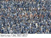 King penguin (Aptenodytes patagonicus) breeding colony, Salisbury Plain, South Georgia. Стоковое фото, фотограф Jeff Foott / Nature Picture Library / Фотобанк Лори