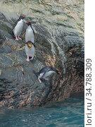 Macaroni penguins (Eudyptes chrysolophus) entering water. Royal Bay, South Georgia. Стоковое фото, фотограф Jeff Foott / Nature Picture Library / Фотобанк Лори