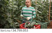 Hispanic farmer hand harvesting crop of ripe cucumbers in large greenhouse in springtime. Стоковое видео, видеограф Яков Филимонов / Фотобанк Лори