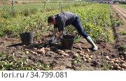 Focused adult man working in vegetable garden, gathering crop of early potatoes on spring day. Стоковое видео, видеограф Яков Филимонов / Фотобанк Лори