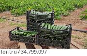 Crop of ripe green courgettes in plastic crates on farm field. Popular vegetables. Стоковое видео, видеограф Яков Филимонов / Фотобанк Лори