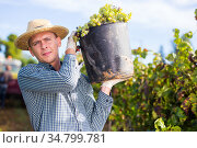 Winegrower carrying bucket with ripe grapes in vineyard. Стоковое фото, фотограф Яков Филимонов / Фотобанк Лори