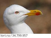 Portrait of Yellow legged gull (Larus michaellis) Porquerolles island, Var, Provence,France, April. Стоковое фото, фотограф Pascal Pittorino / Nature Picture Library / Фотобанк Лори