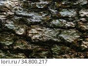 Bark texture of old tree close up. Стоковое фото, фотограф Евгений Харитонов / Фотобанк Лори
