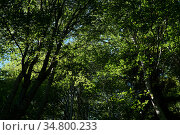 Tree crowns with green foliage - a look from the bottom up in a beech grove. Стоковое фото, фотограф Евгений Харитонов / Фотобанк Лори