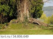 Baum, alt, wurzel, stamm, baumstamm, baumwurzel, natur, bodensee. Стоковое фото, фотограф Zoonar.com/Volker Rauch / easy Fotostock / Фотобанк Лори