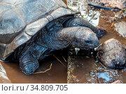 Giant land turtles (dipsochelys gigantea) on Seychelles island Praslin. Стоковое фото, фотограф Zoonar.com/Reiner Conrad / easy Fotostock / Фотобанк Лори
