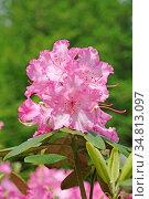 Rhododendron, rosa, pink, garten, blume, blumen, blüte, blüten, natur... Стоковое фото, фотограф Zoonar.com/Volker Rauch / easy Fotostock / Фотобанк Лори