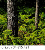 Fern growing in a forest in Dalsland, Sweden. Стоковое фото, фотограф Zoonar.com/Ursula Perreten / easy Fotostock / Фотобанк Лори