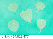 Several yellow dried leaves on aquamarine green paper background. Стоковое фото, фотограф Zoonar.com/Valery Voennyy / easy Fotostock / Фотобанк Лори