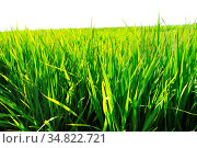 Paddy rice fields and sky background. Стоковое фото, фотограф Zoonar.com/szefei / easy Fotostock / Фотобанк Лори